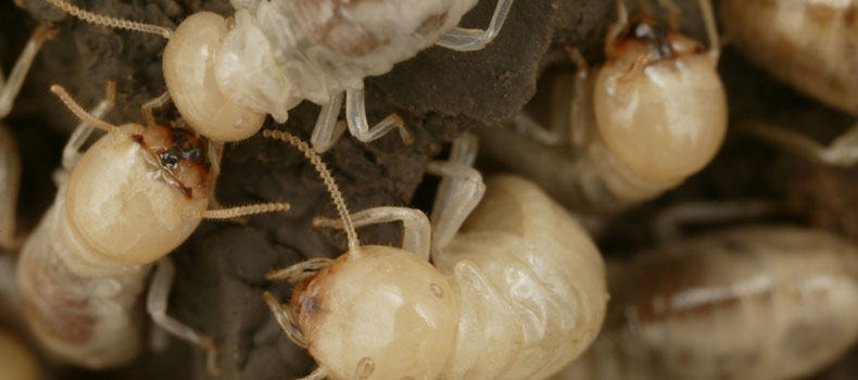 Get a termite (or wood destroying insect) inspection from Blue Line Home Inspections